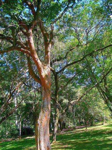 Ficheiro:Brazilwoodriobotanicgarden.jpg