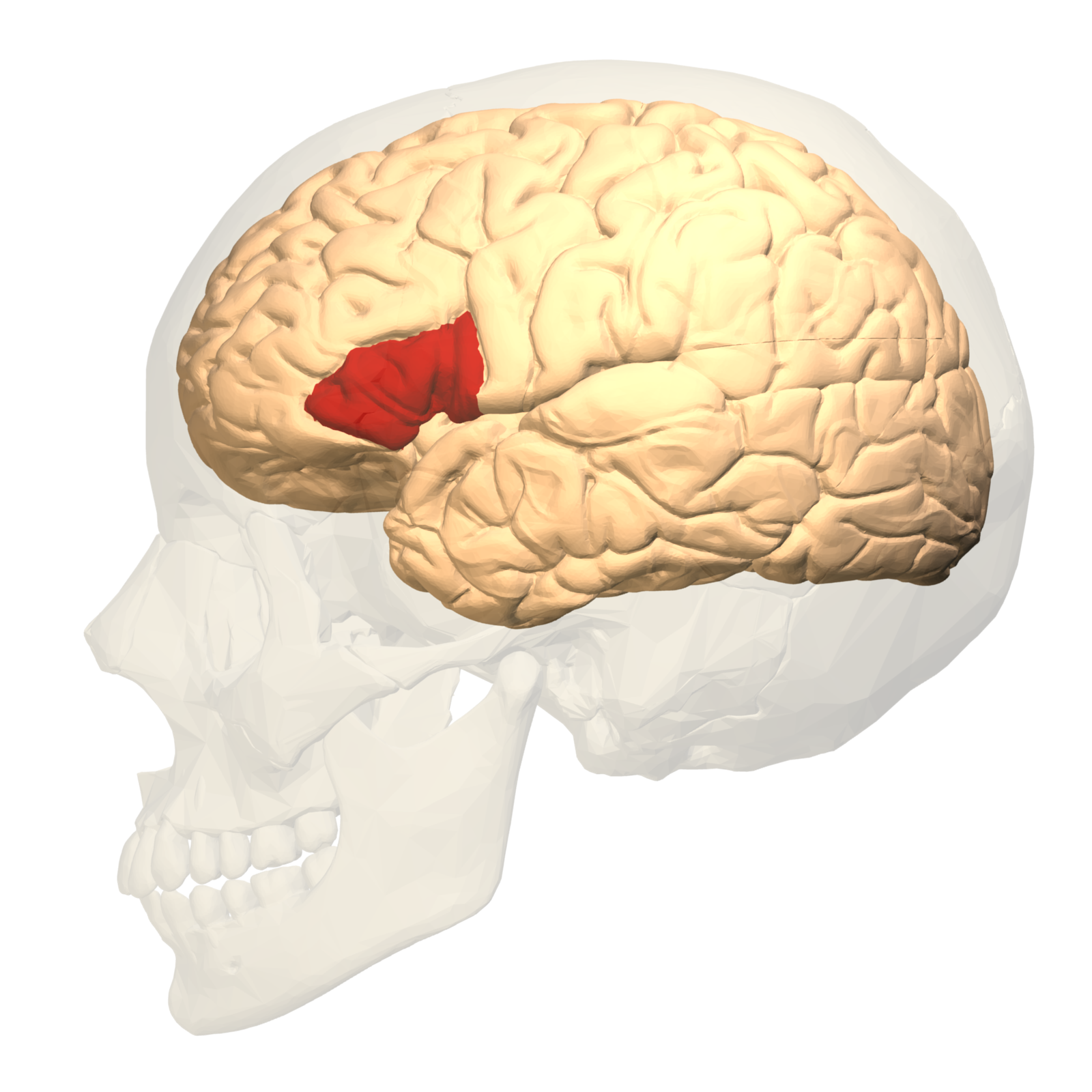 File:Broca\'s area - lateral view.png - Wikimedia Commons