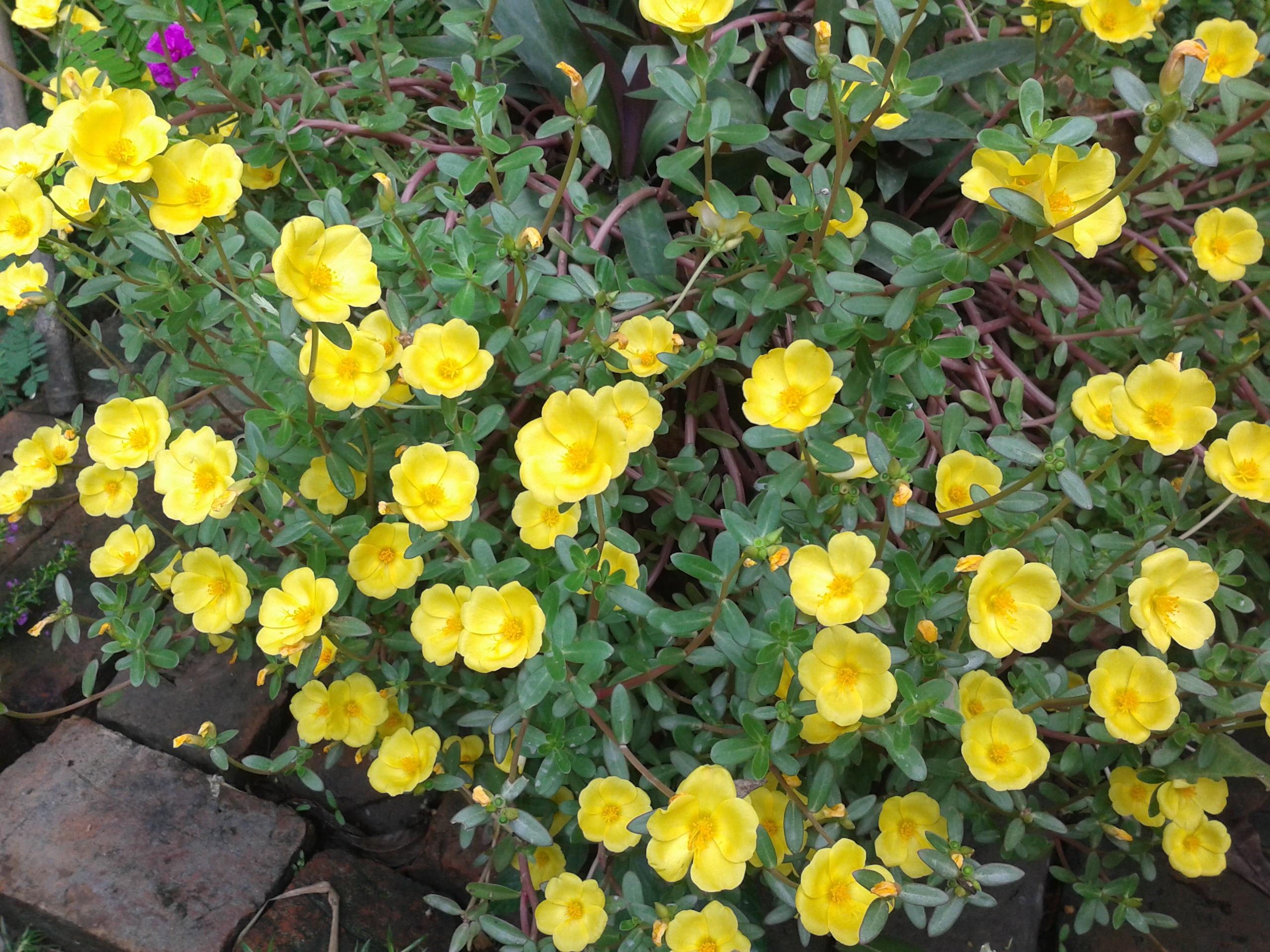 Filebunch of yellow flowersg wikimedia commons filebunch of yellow flowersg mightylinksfo