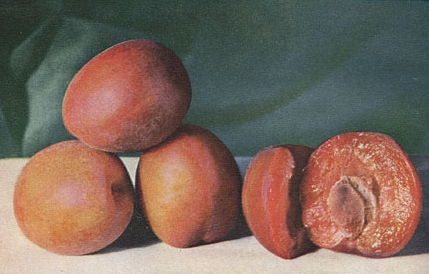 Плумкот— гибрид абрикоса и сливы, по изданию 1914 года