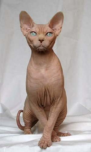 Canadian Sphynx Red.jpg