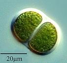 Chroococcus1. jpg