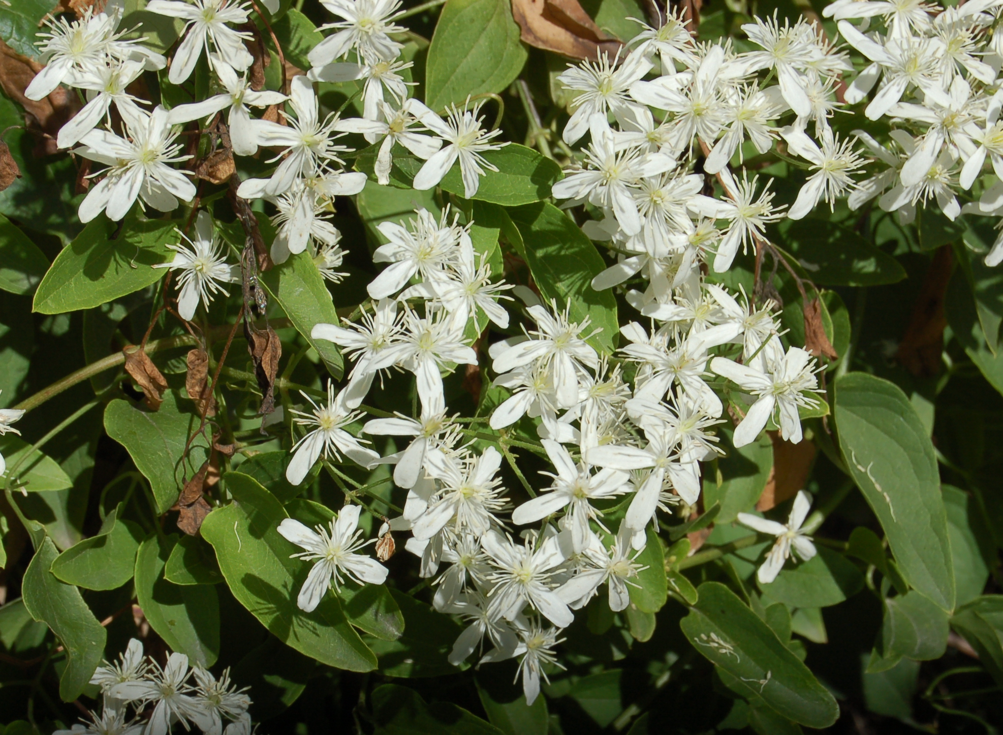 file clematis terniflora 2 jpg wikimedia commons. Black Bedroom Furniture Sets. Home Design Ideas