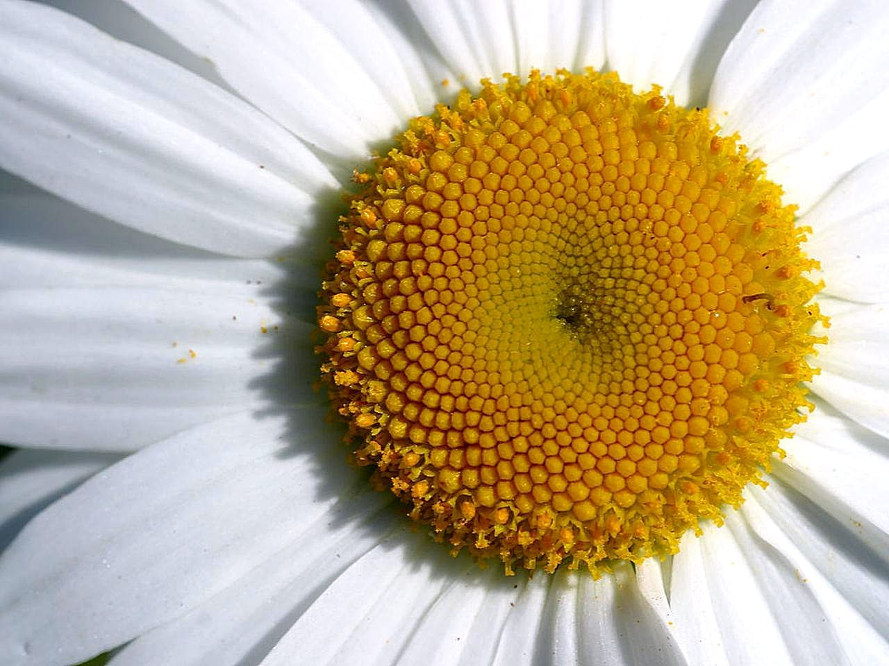 file closeup of a daisy flower jpg wikimedia commons