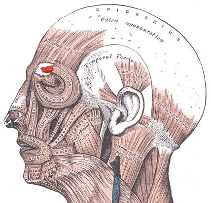 corrugator supercilii muscle
