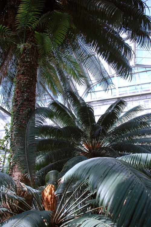 Cycas Circinalis - 200 Years Old in Prague - DSC 0068.jpg