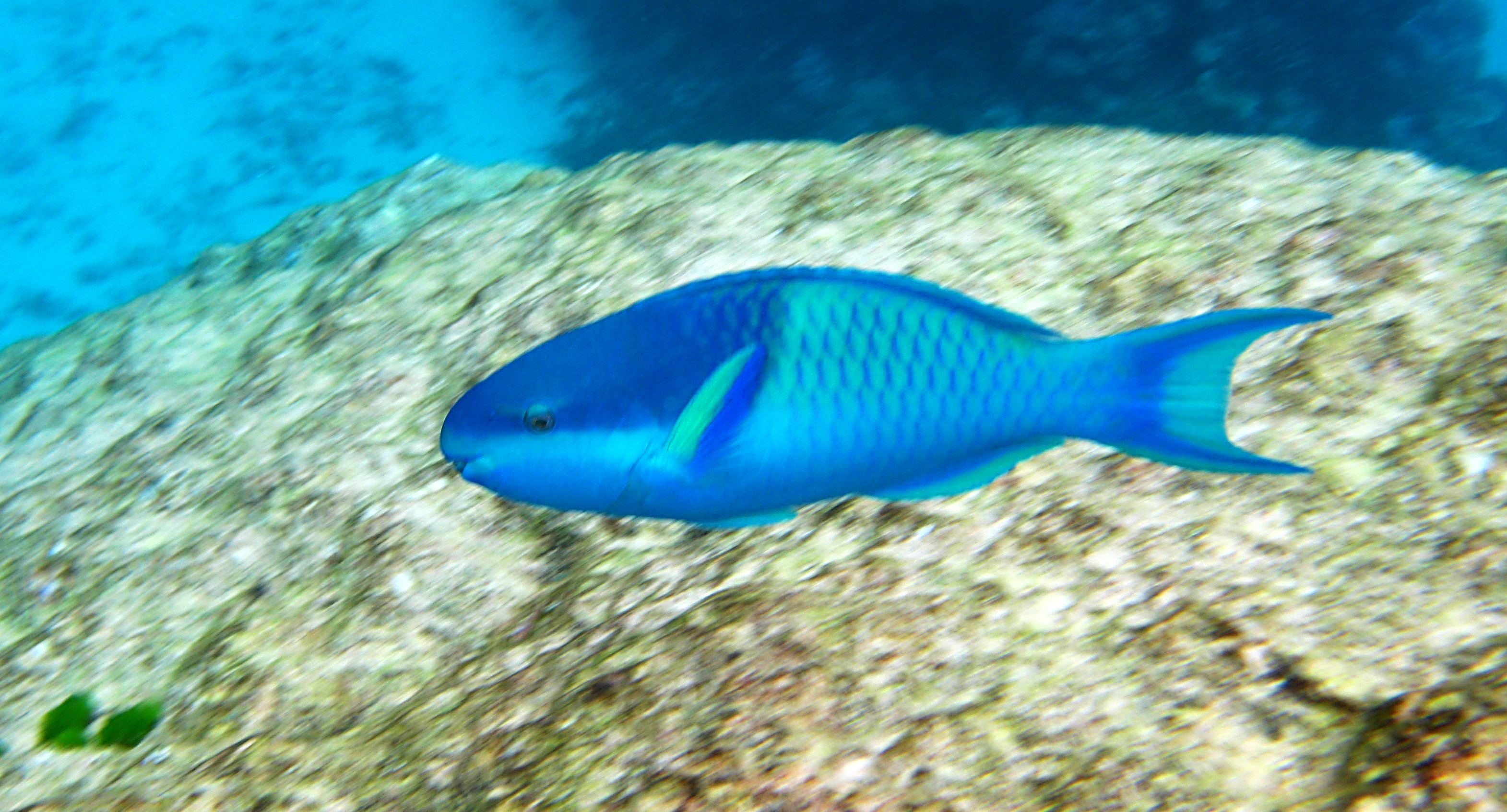 File dark capped wikimedia commons for Blue parrot fish