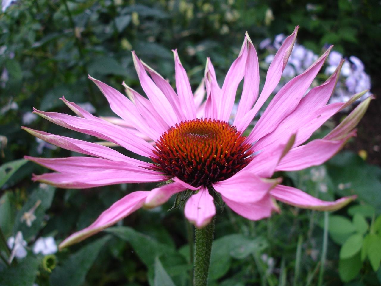 Flowers Echinacea purpurea