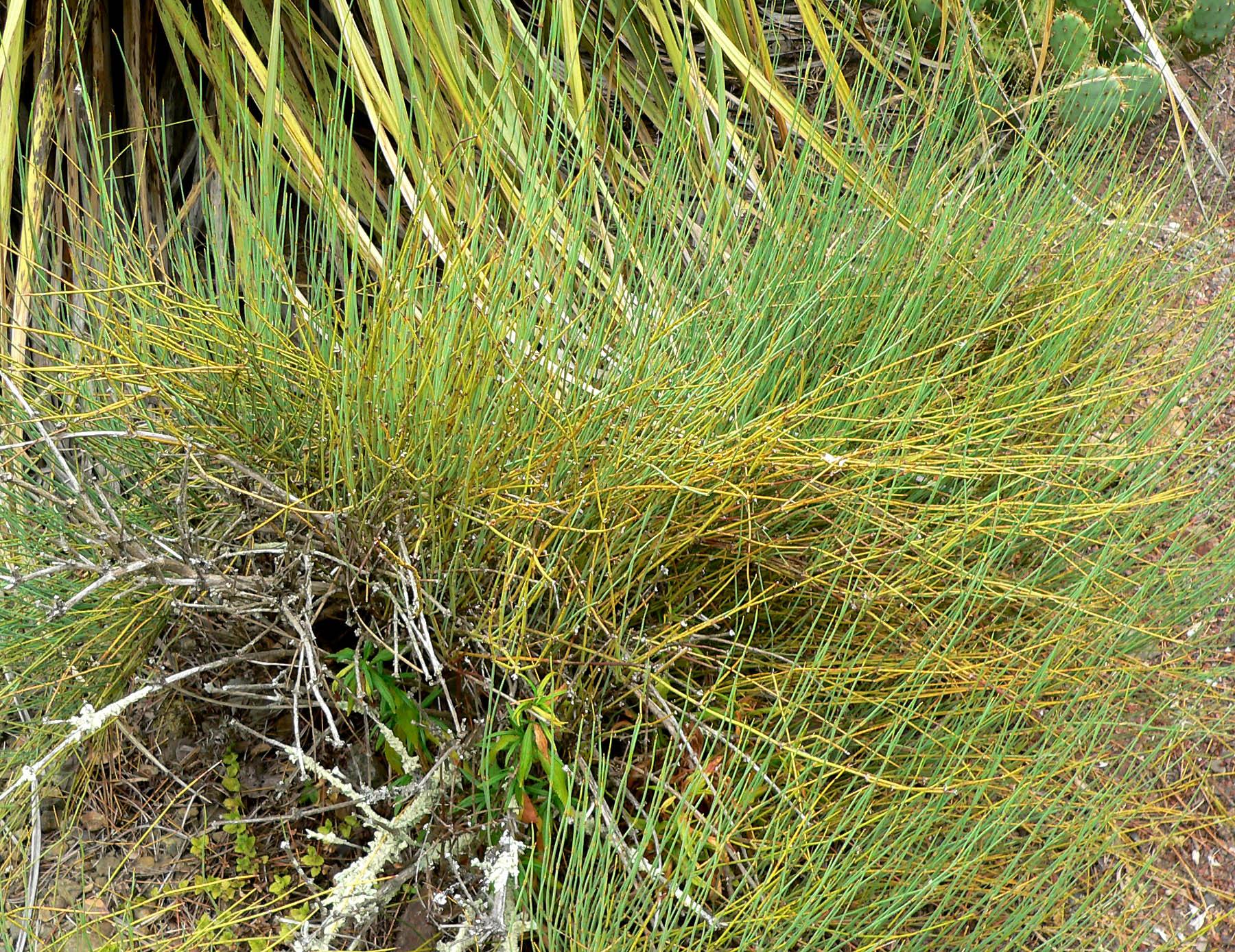 Ephedraceae | gnetophyte family | Britannica.com