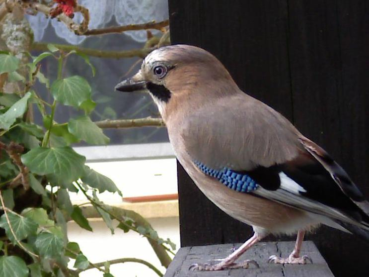 Eurasian Jay on balcony