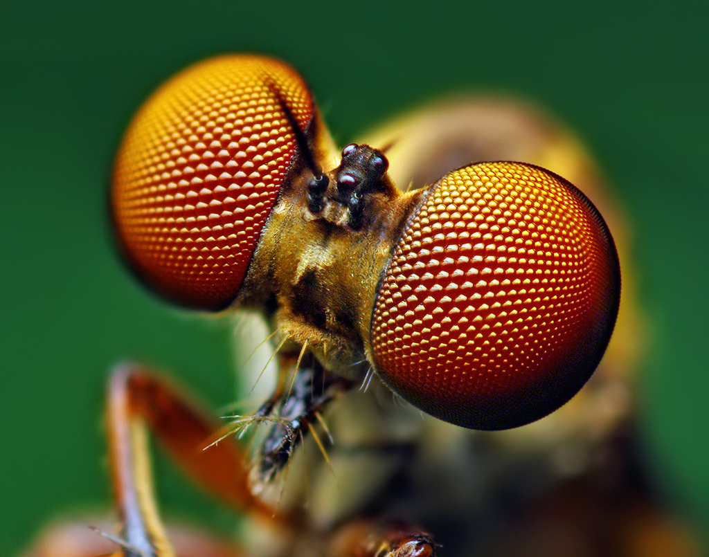 Eyes_of_a_Holcocephala_fusca_Robber_Fly.
