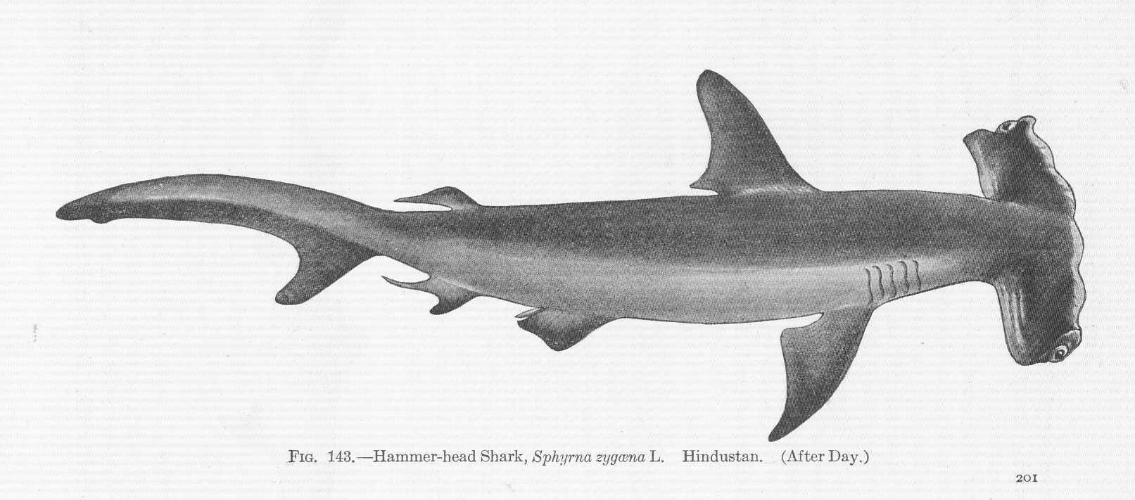 File:FMIB 51680 Hammer-head Shark, Sphyrna zygaena L ...