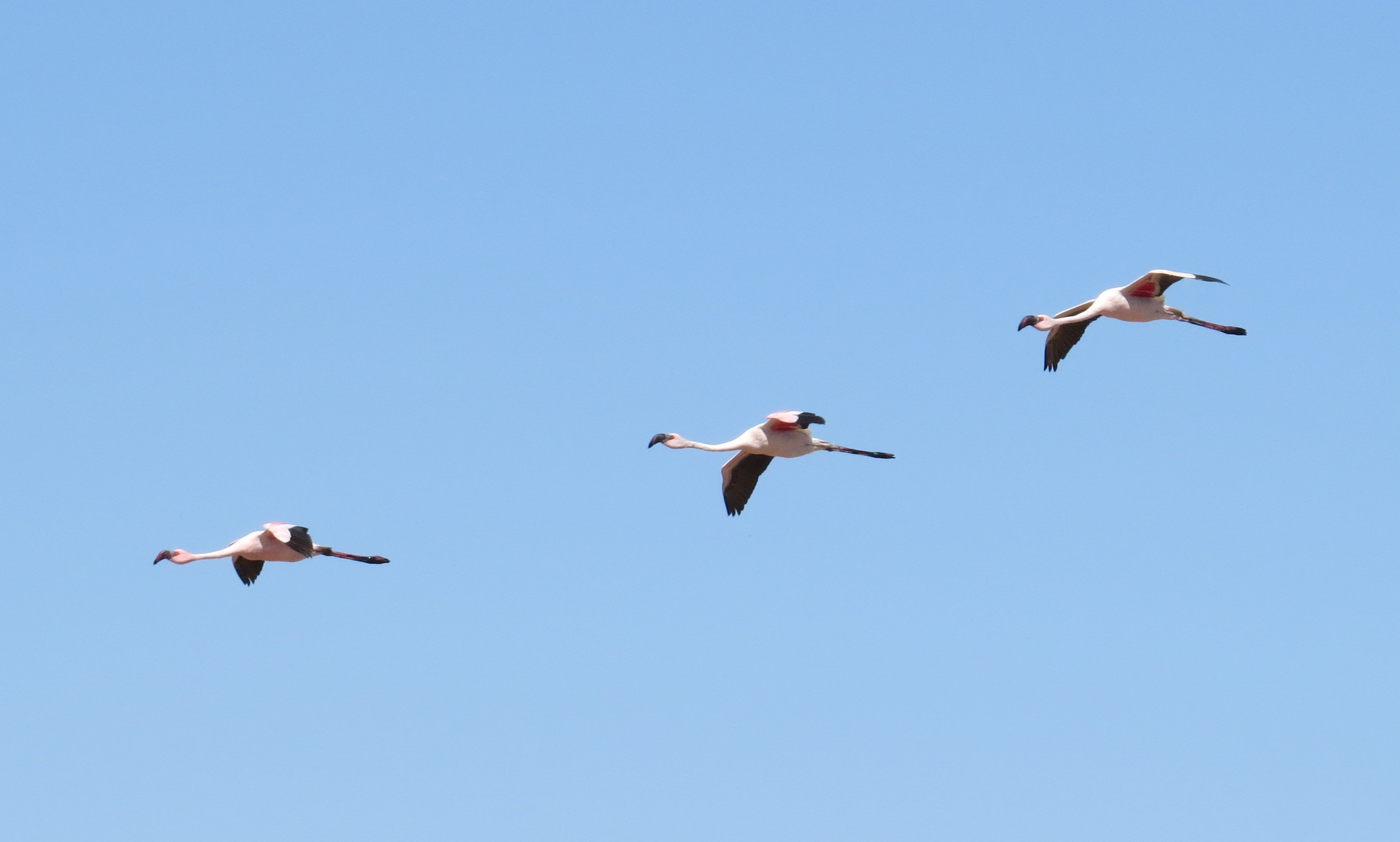 Phoenicopterus roseus Greater Flamingo
