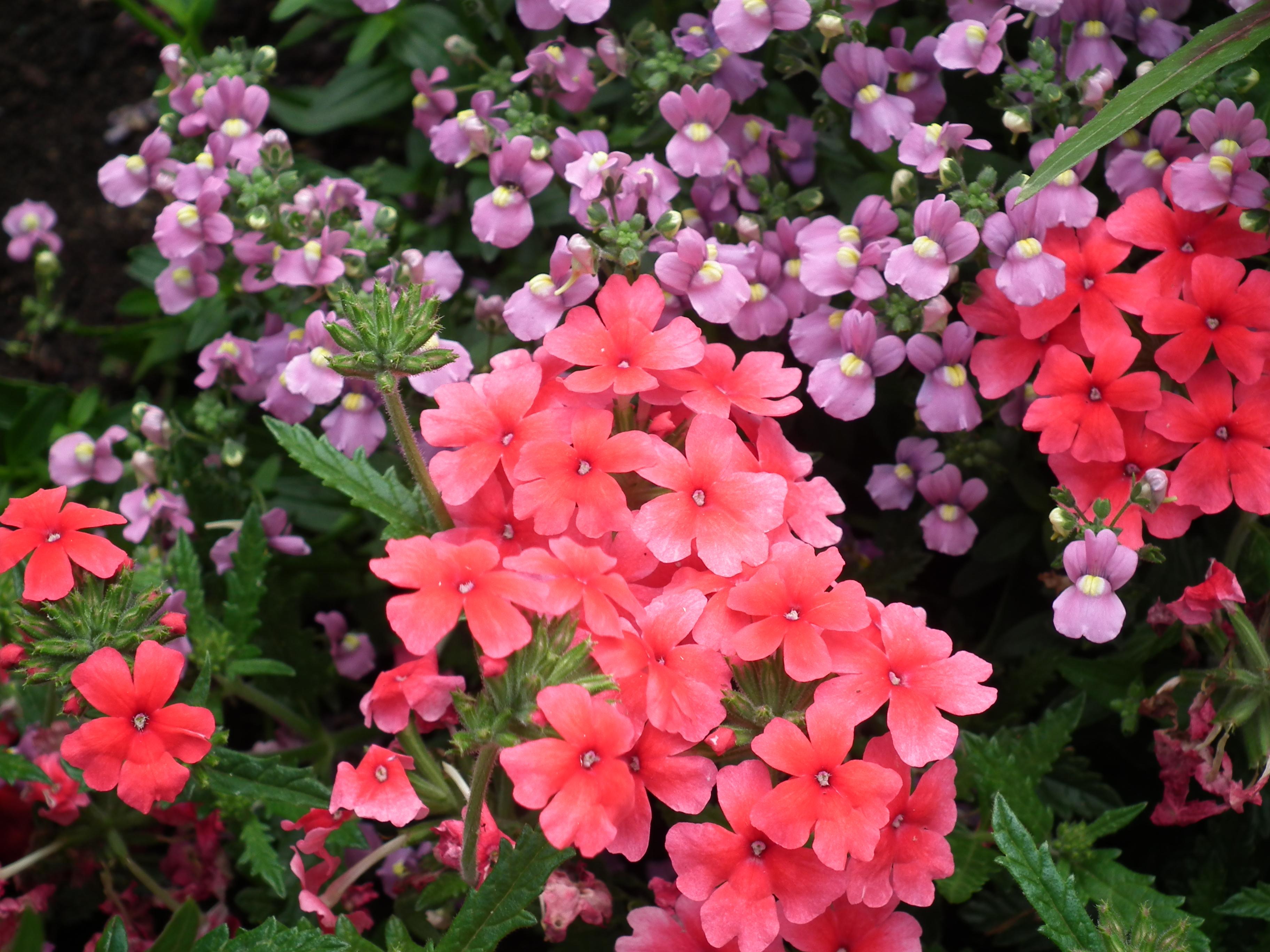 File:Fleurs, jardin public de Saintes.JPG - Wikimedia Commons