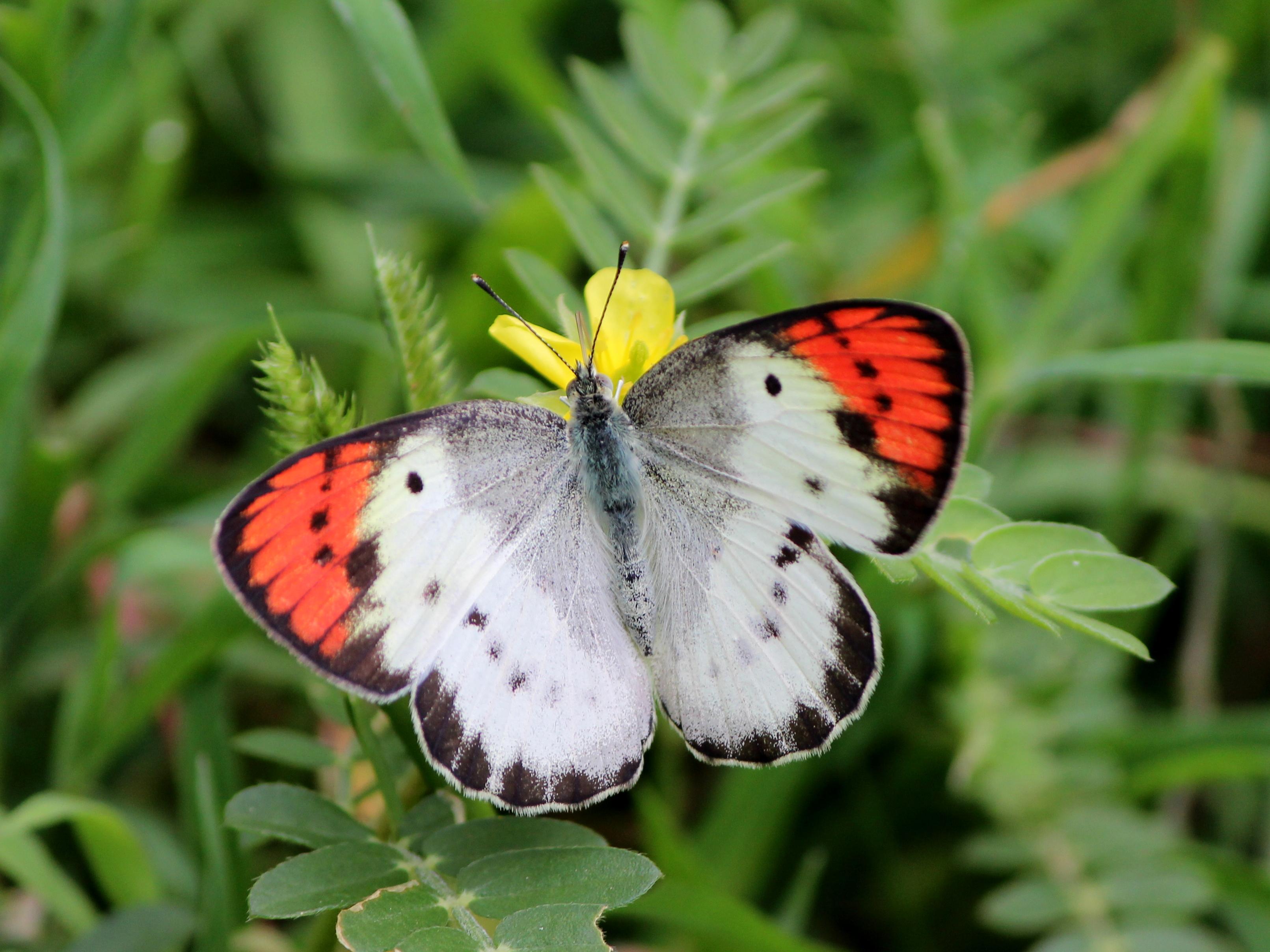 Sưu tập Bộ cánh vảy 3 - Page 7 Flora_and_Fauna_Savandurga_Karnataka_%285%29