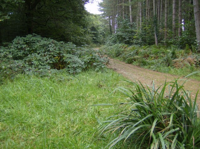 Forest track in Parkhurst Forest - geograph.org.uk - 571814