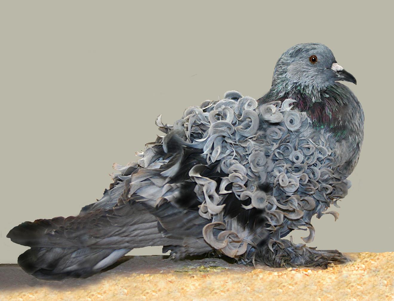 http://upload.wikimedia.org/wikipedia/commons/b/b4/Frillback_pigeon.jpg