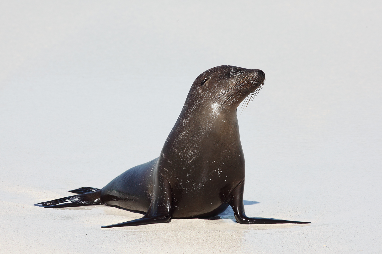 File:Galapagos Sea Lion.jpg - Wikimedia Commons