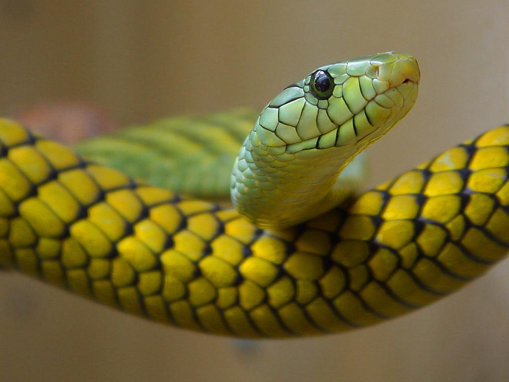 http://upload.wikimedia.org/wikipedia/commons/b/b4/Green,_yellow_snake.jpg