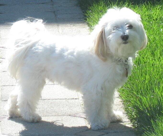 Havanese dog outdoor