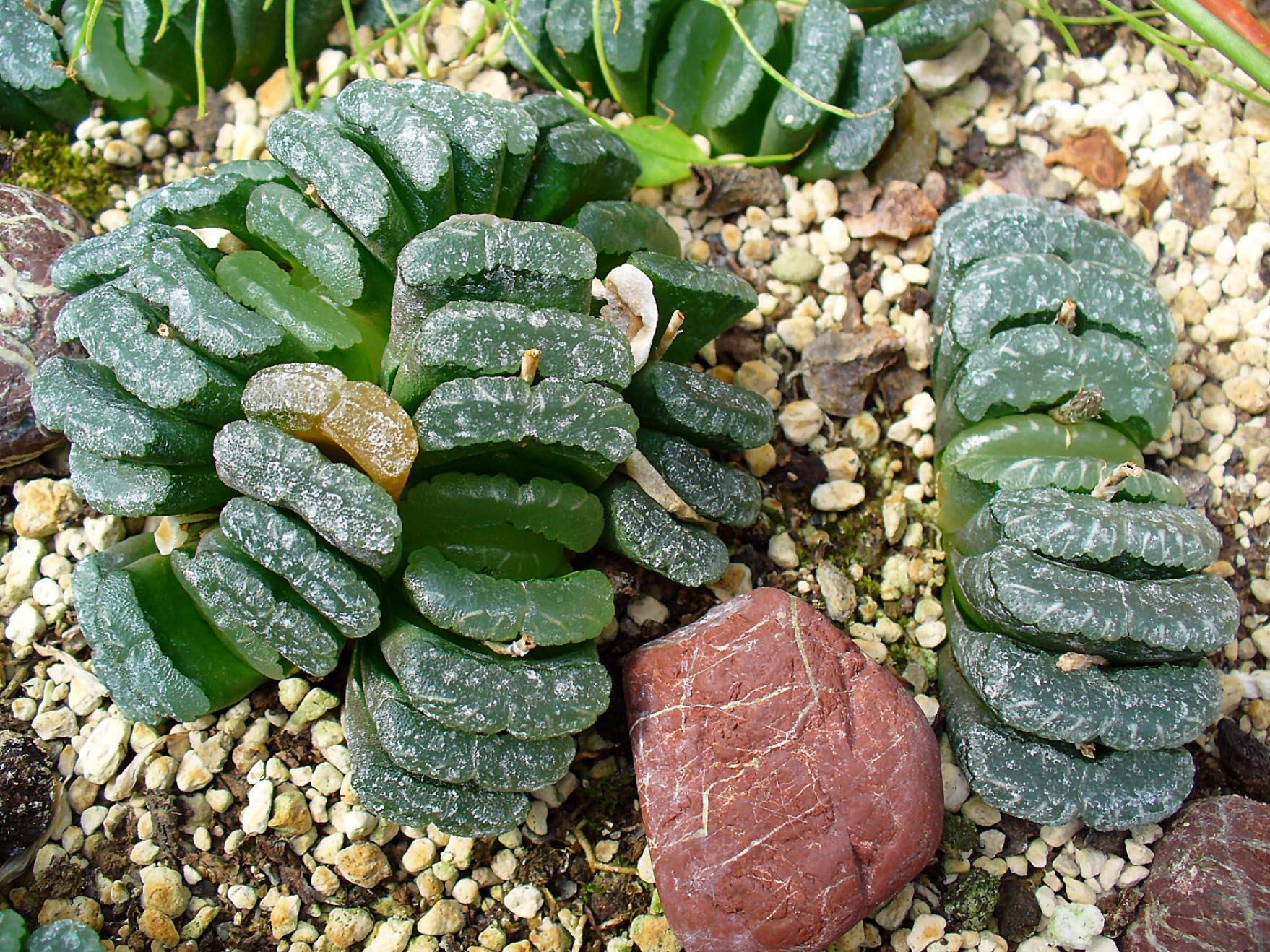 Haworthia truncata 001 - Garten Deutschland