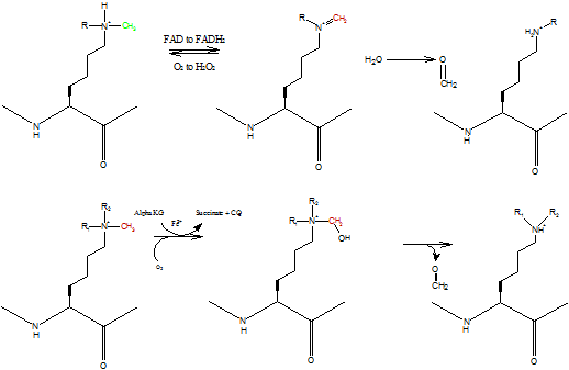 Oxidative Amination Mechanism Amine Oxidase Mechanism of