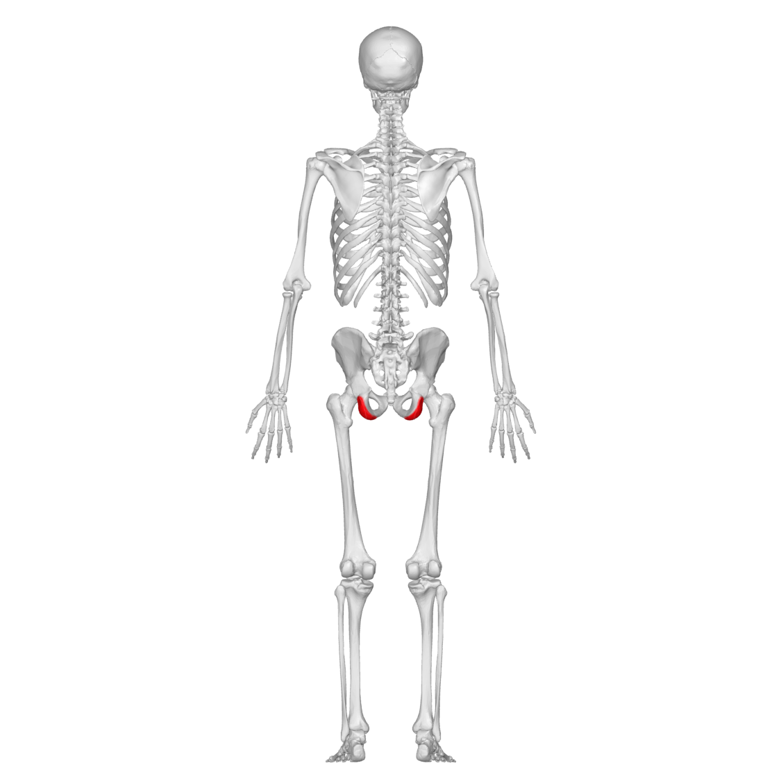 File:Ischial tuberosity 00 posterior view.png - Wikimedia Commons