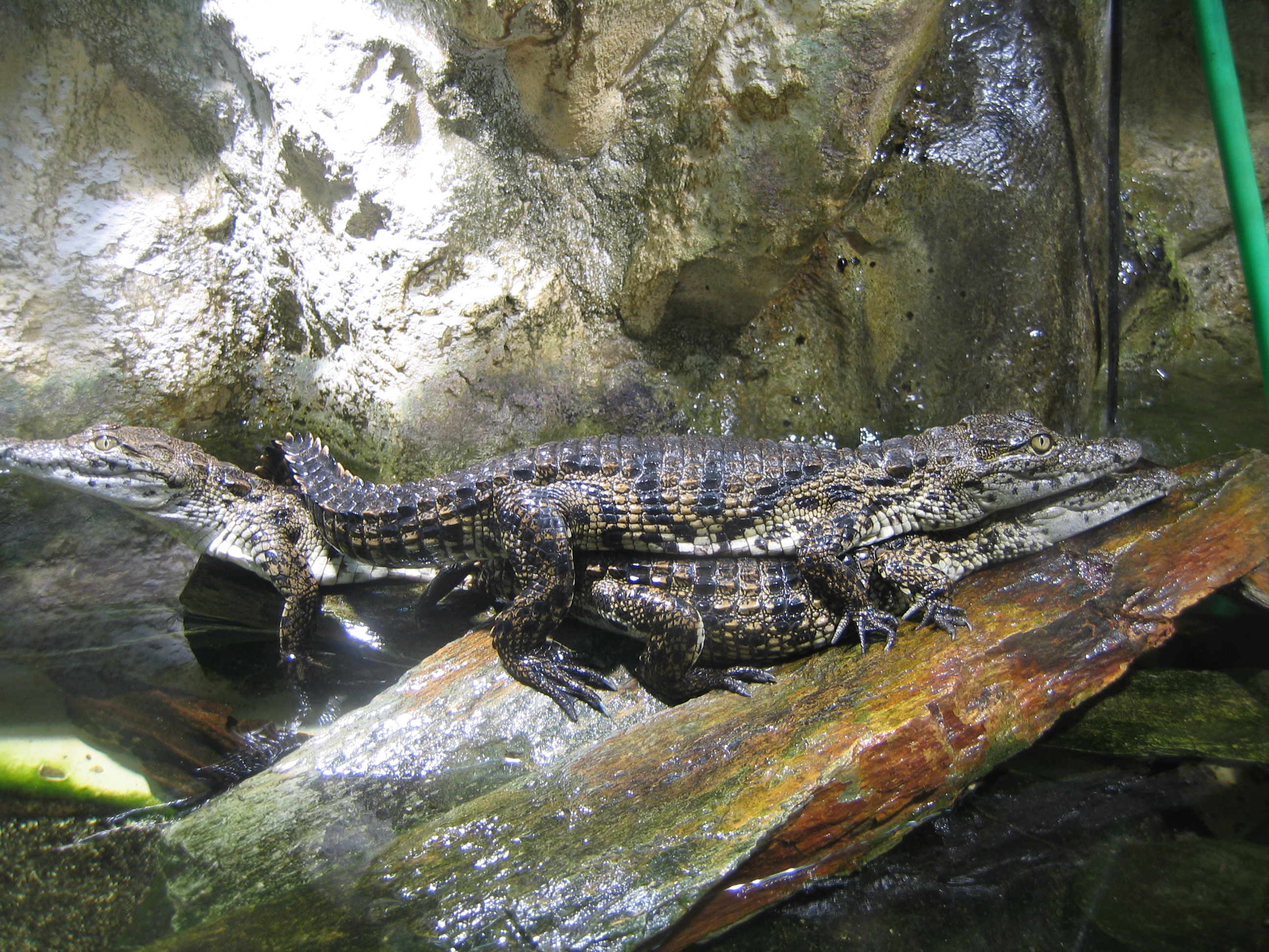 file jeunes crocodile du nil aquarium porte dor 233 e jpg wikimedia commons
