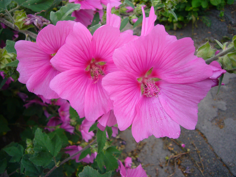 Лаватера - выращивание из семян в открытый грунт или на 100