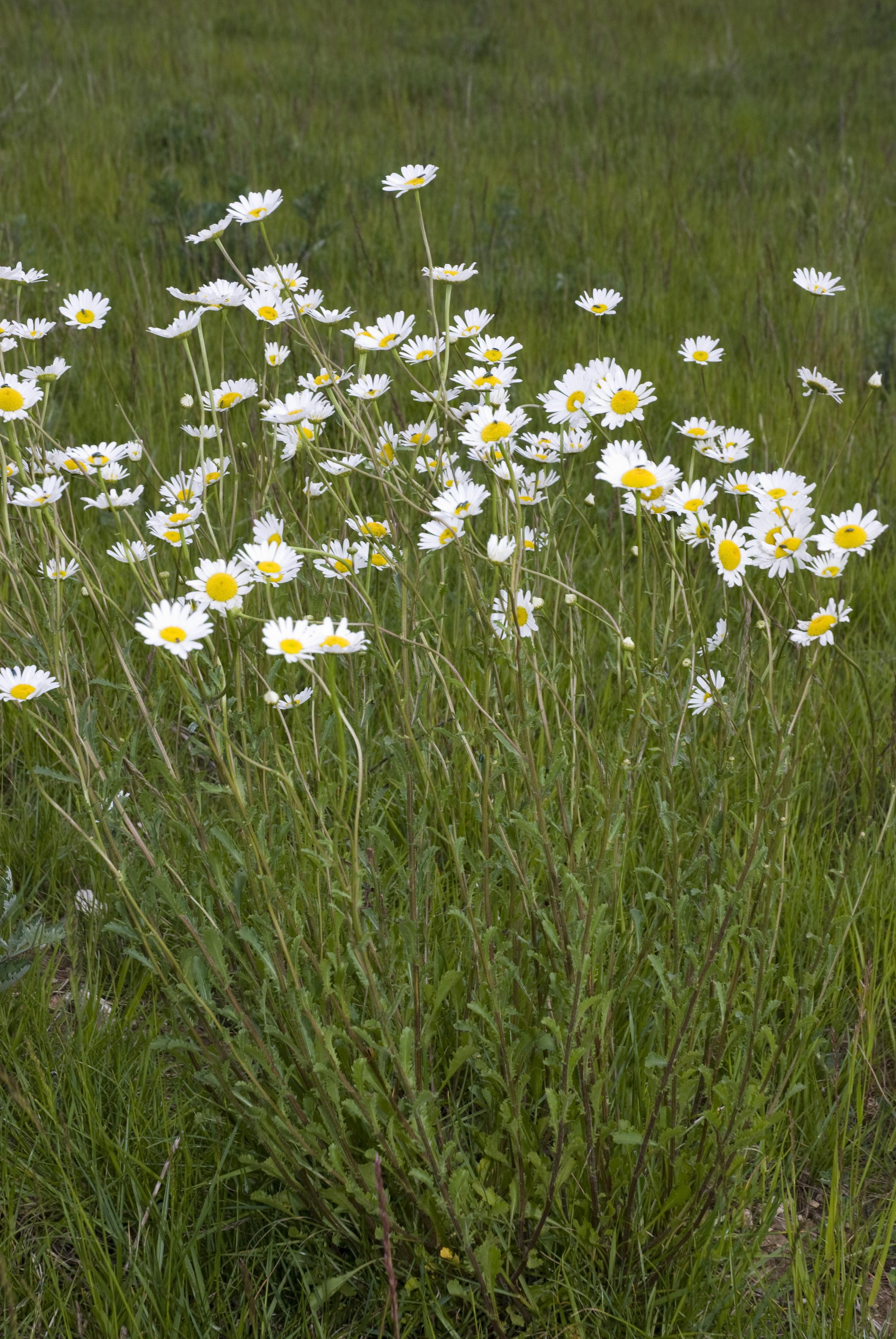 File leucanthemum vulgare champs devaugerme chateau for Bureau 02 chateau thierry