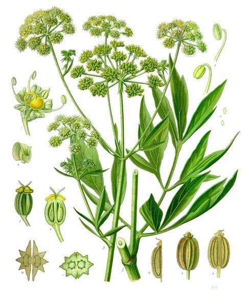 Levisticum officinale - Köhler–s Medizinal-Pflanzen-217