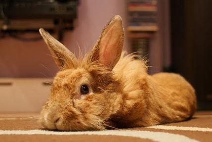 Lionhead Rabbit.jpg