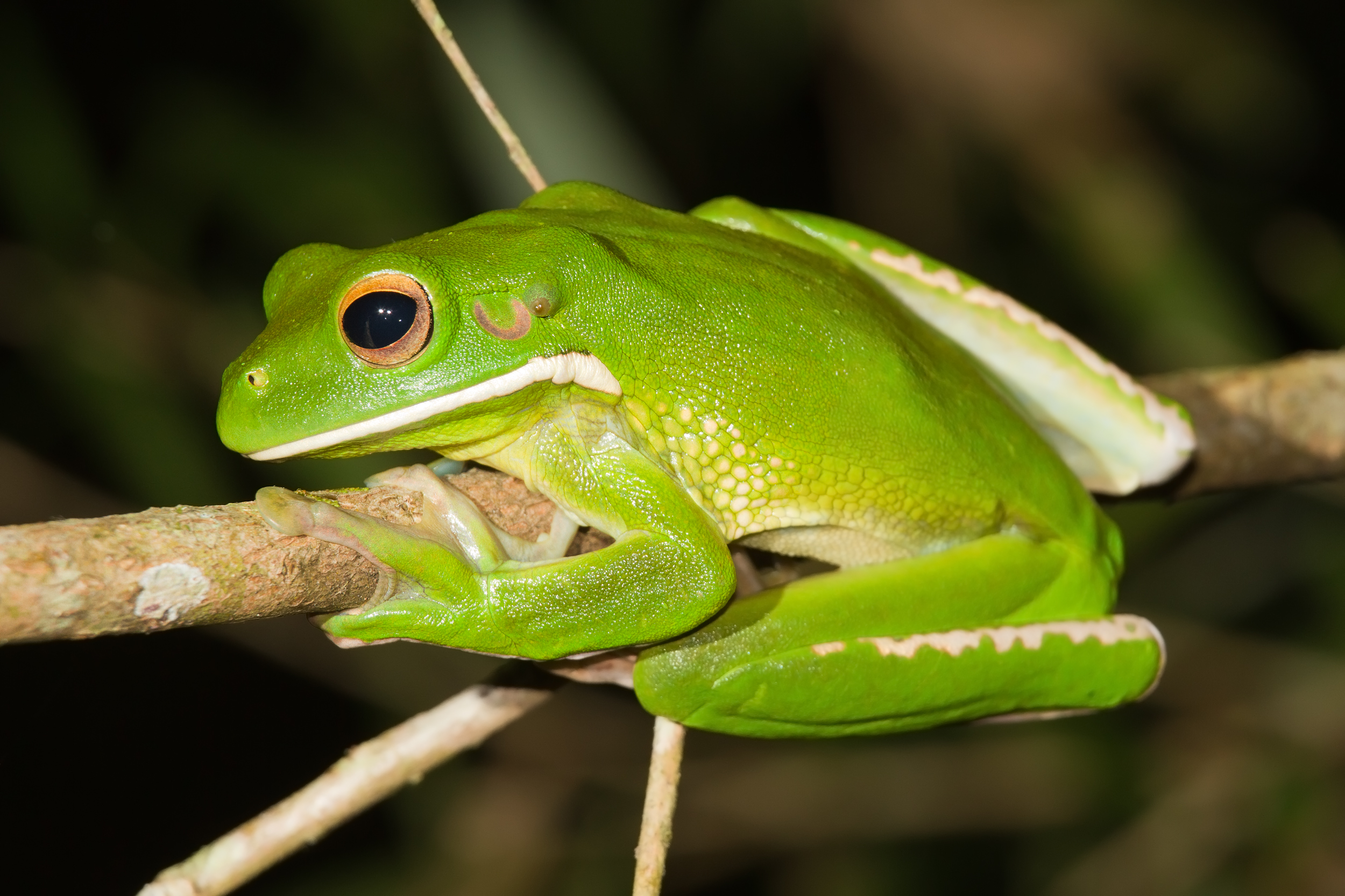 10 Types of Tree Frogs - ClubFauna