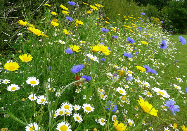Meadow flowers - geograph.org.uk - 878028