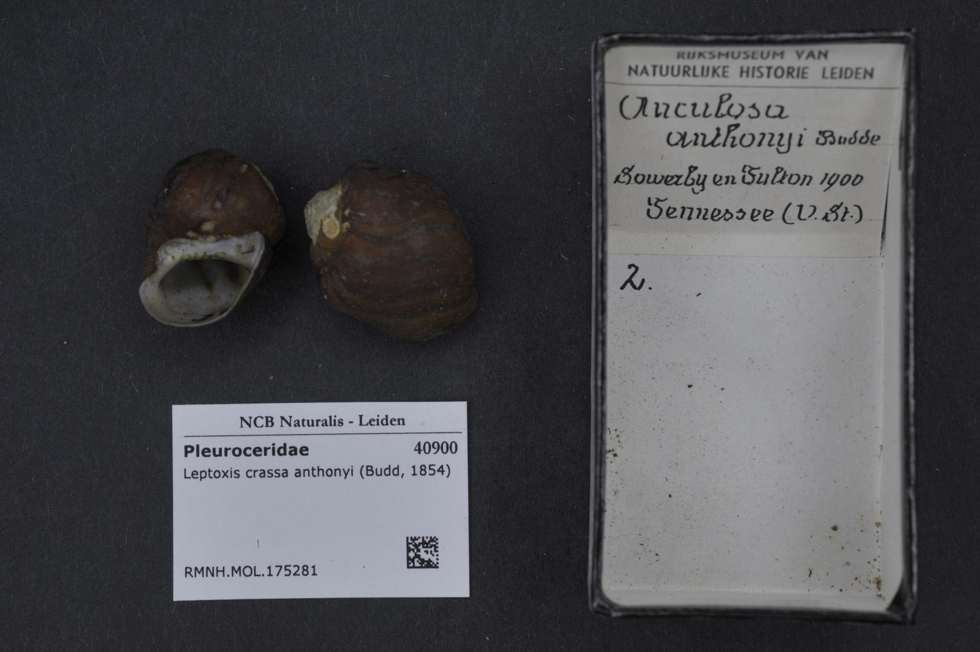 File:Naturalis Biodiversity Center - RMNH MOL 175281