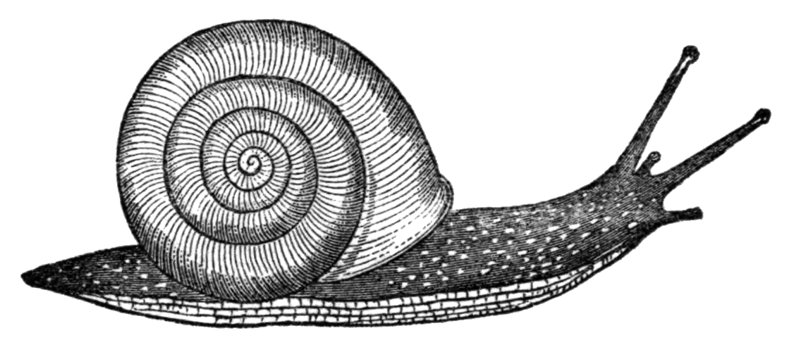 Fileneohelix Albolabris Drawing Liveg Wikipedia