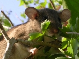 A large-eared, large-eyed rat, brownish above and white below, in green vegetation.