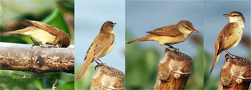 Fail Oriental Reed Warbler I Jpg Wikipedia Bahasa Melayu Ensiklopedia Bebas