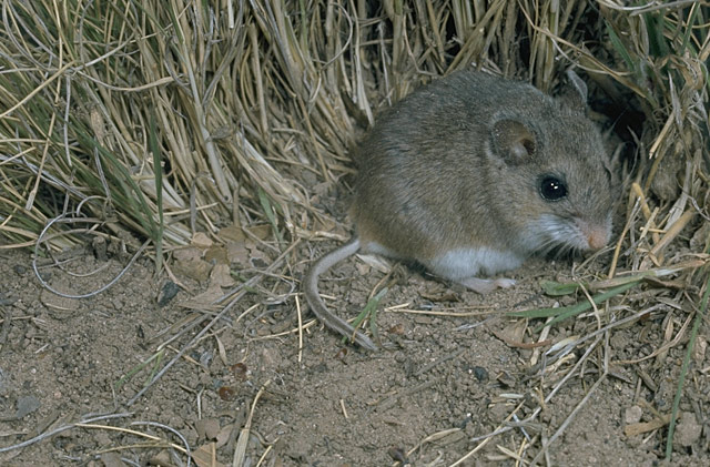 An oldfield mouse.
