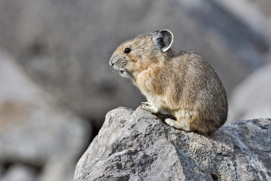 http://upload.wikimedia.org/wikipedia/commons/b/b4/Pika.jpg