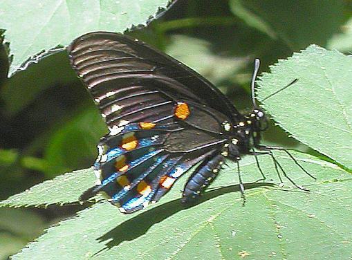 Berkas:Pipevineswallowtail.jpg