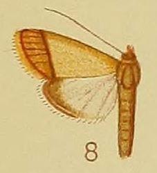 <i>Pseudonoorda</i> Genus of moths