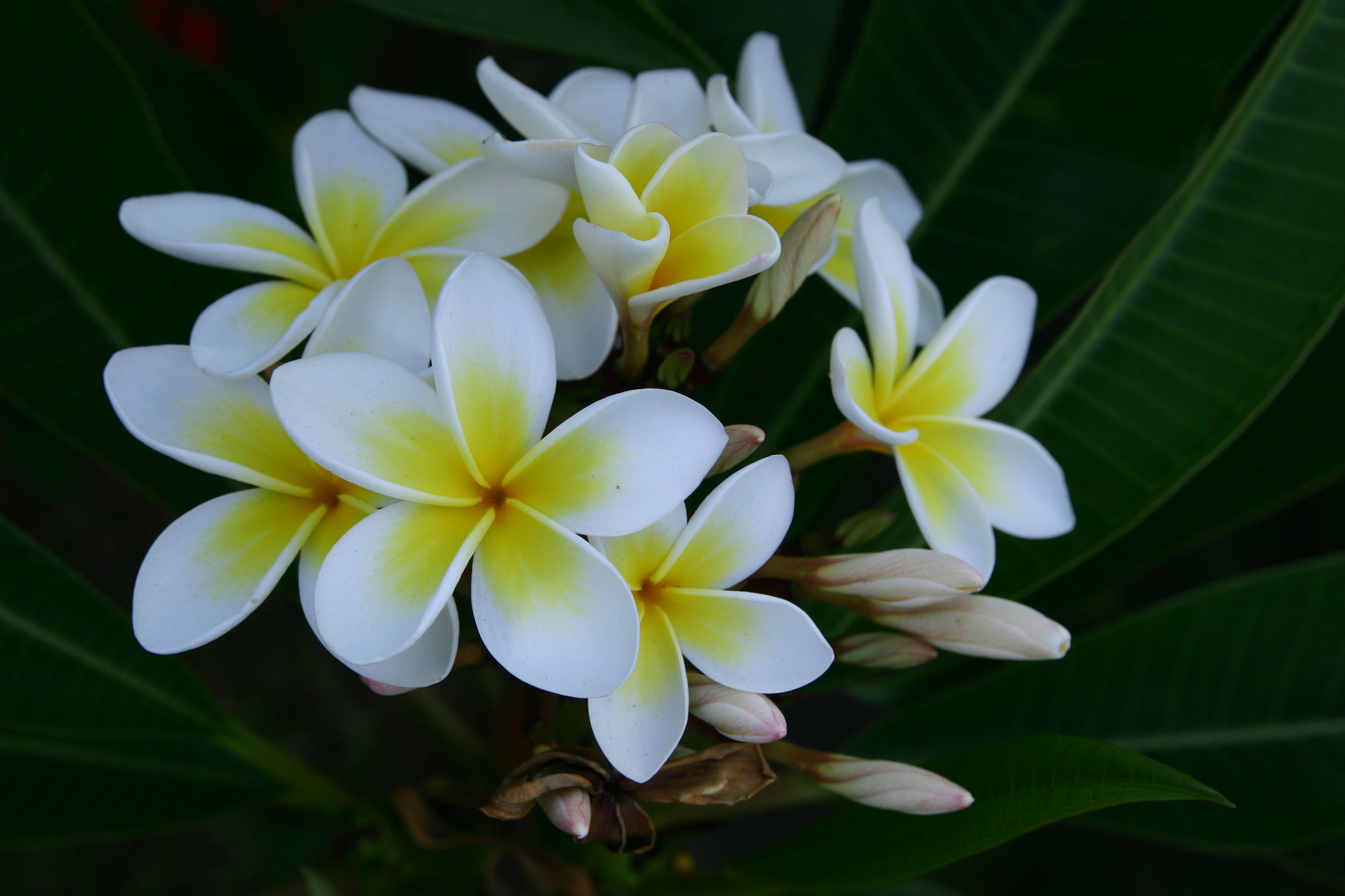 plumeria flowers  flower, Natural flower