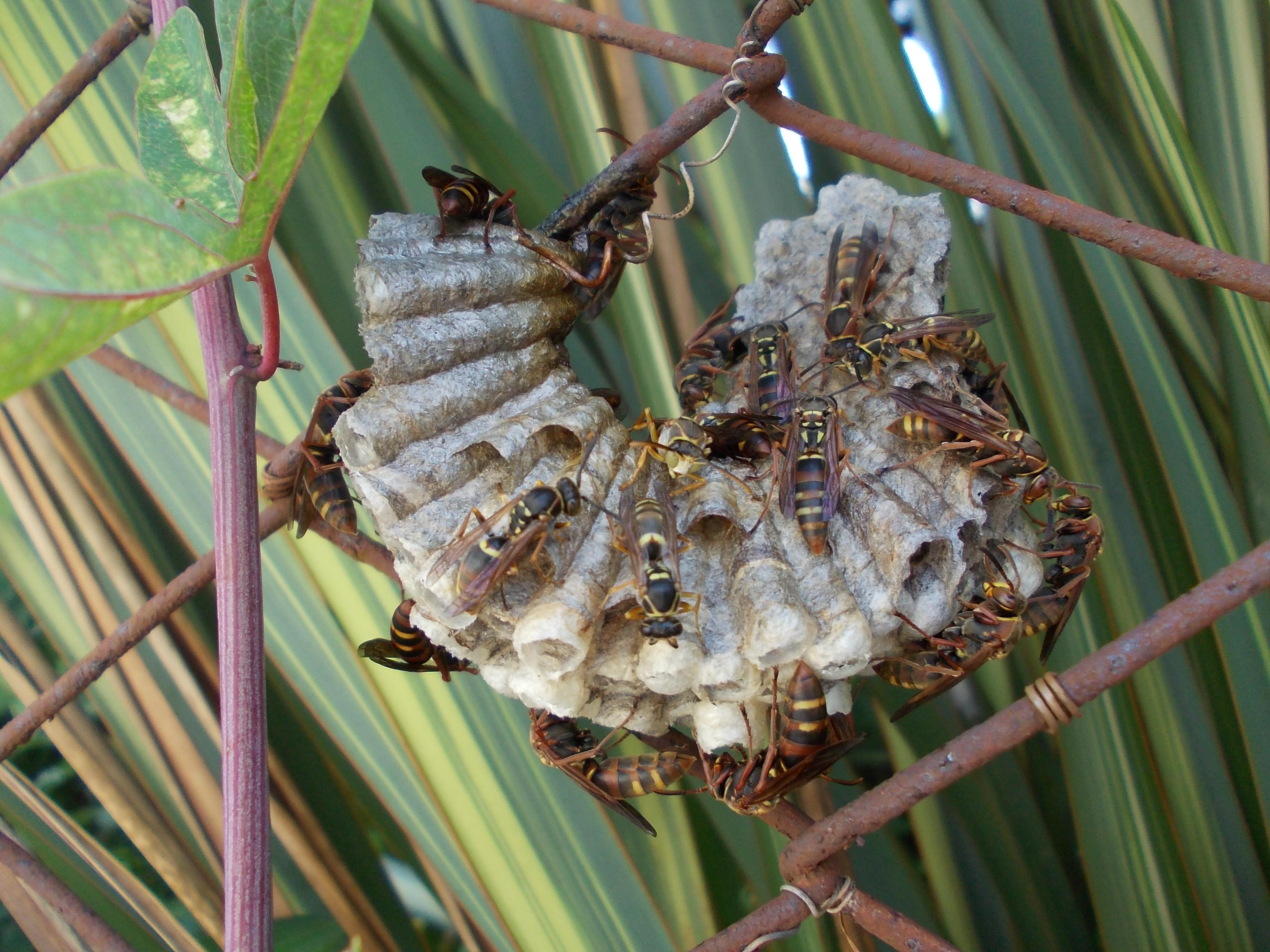 Polistes snellen nest.jpg