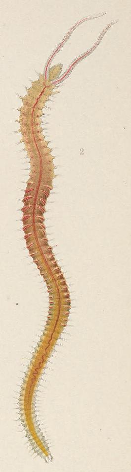 Pygospio elegans