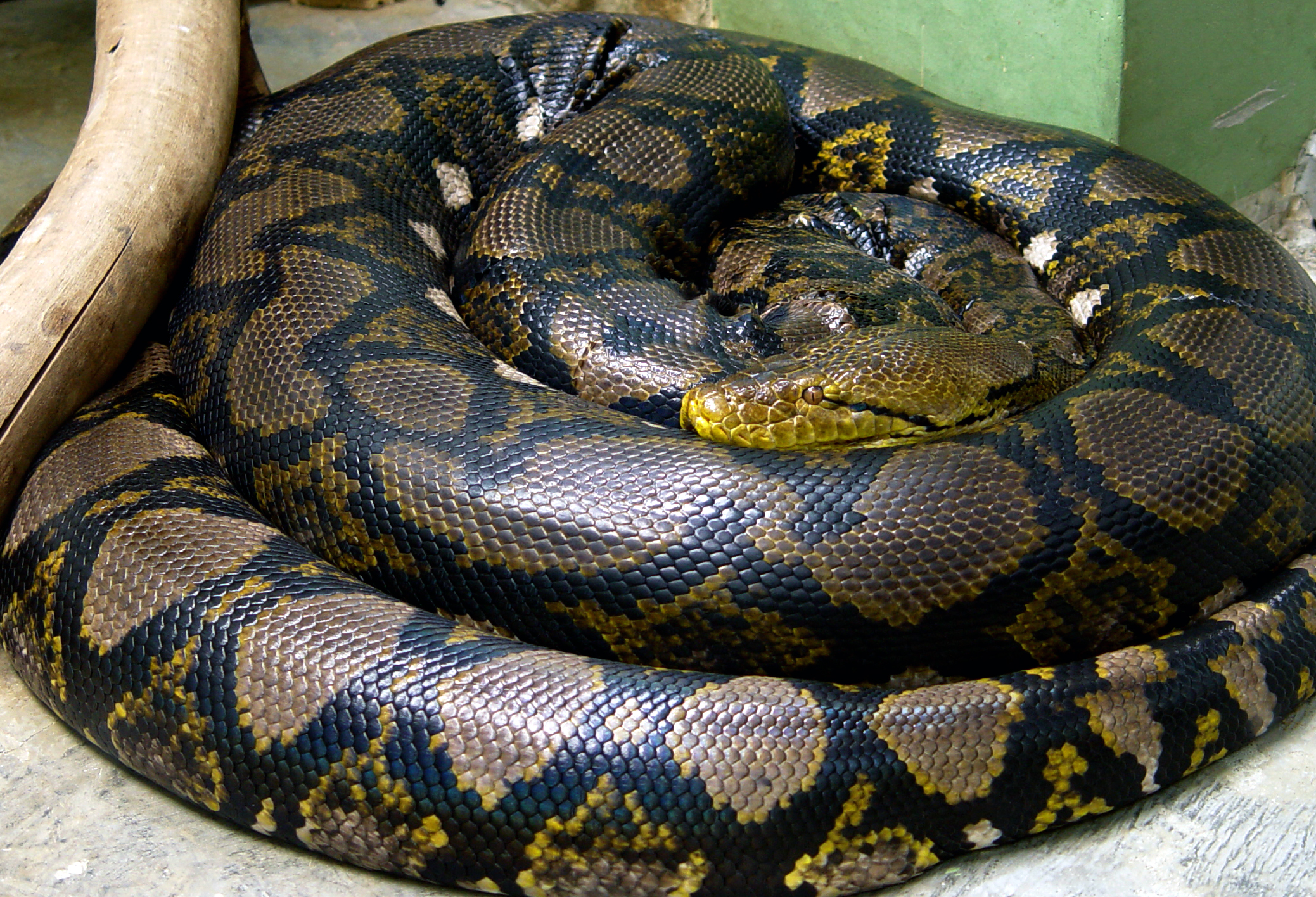 Reticulated python - Wikipedia