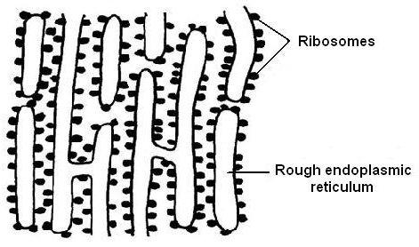 Diagram 3 11 - Rough endoplasmic reticulumRough Endoplasmic Reticulum
