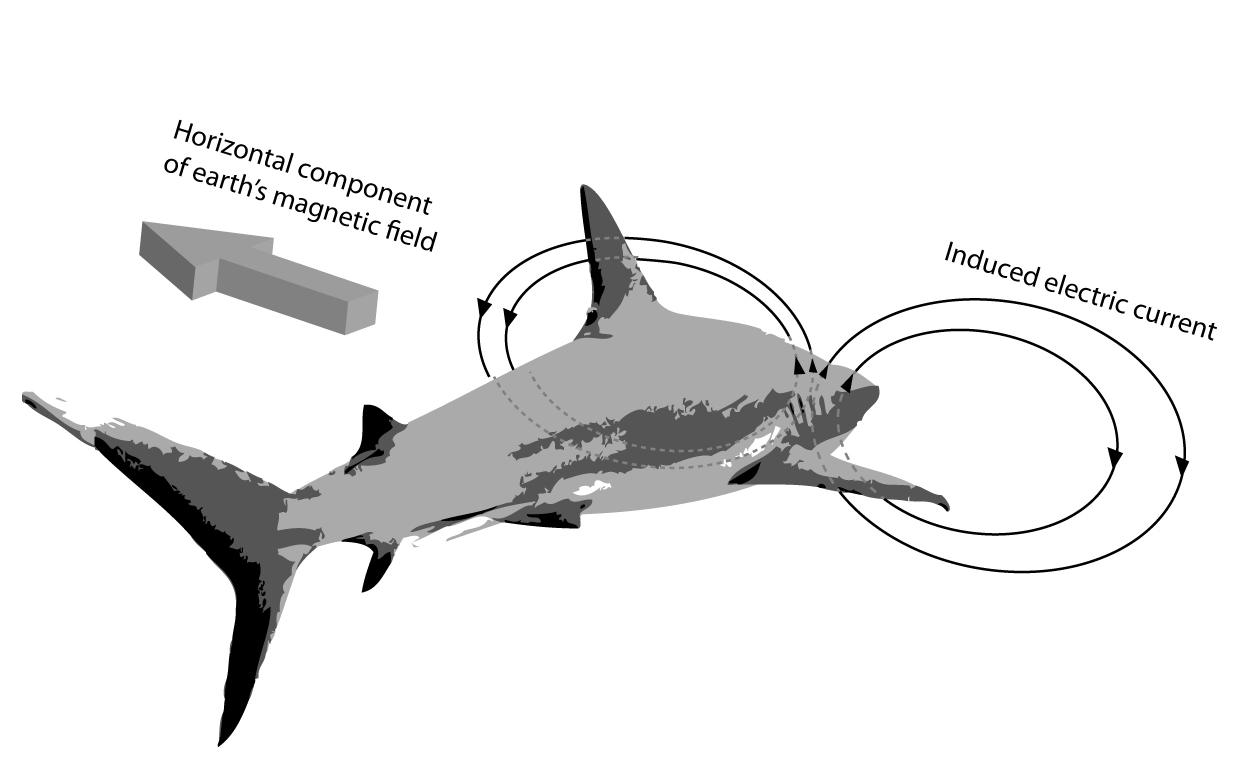 File Shark Orientation Sensing Wikimedia Commons