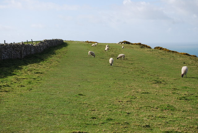 Sheep on the ridge above Encombe Dairy - geograph.org.uk - 765988