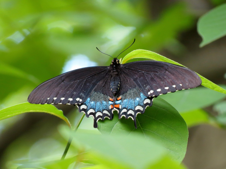 File:Spicebush Swallowtail (33588753623).jpg - Wikimedia Commons